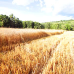 Wheat-Field-Redeemer-1-web
