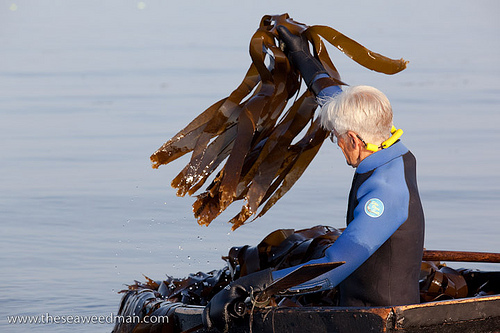 Larch the Seaweed Man harvesting seaweed